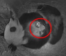Végre kiderült: hím panda született Bécsben