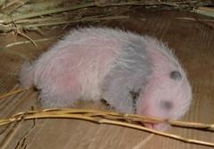 Pandabébi született a bécsi állatkertben