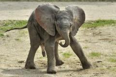 Kiselefánt született a bécsi állatkertben