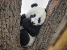 10 kilós a pandabébi