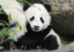 Fu Bao öt hónapos | Foto: Jutta Kirchner (Tiergarten Schönbrunn)