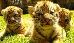 2012. április 10-én született kistigrisek Abonyban