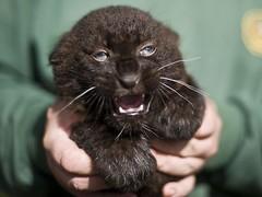 Fekete leopárd kölyök a Nyíregyházi Állatparkban