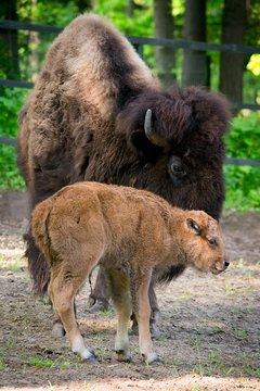 Amerikai bölény borjú
