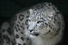 Hópárduc a Veszprémi Állatkertben