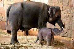Ázsia elefánt született (Tierpark Berlin, 2012. augusztus 13.)