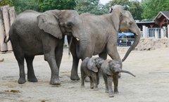 Ayo és Tamika a hallei állatkert újszülött sztárjai
