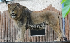 Aslan, a fiatal hím berber oroszlán